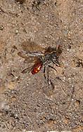 Nomada fabriciana, a klepto parasite especially of Andrena bicolor