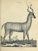 Capra The Striped Antelope Copperplate engraving From the Encyclopaedia Londinensis or, Universal dictionary of arts, sciences, and literature; Volume III;  Edited by Wilkes, John. Published in London in 1810