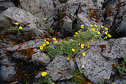 Wildflower on rock, Sitka, Alaska