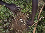 Finding bird's eggs. At the Hadza camp of Dedauko.