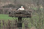 Nederland, Overbetuwe, 6-3-2020 Ooievaars op hun nest . Foto: Flip Franssen