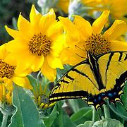 Tiger Swallowtail, (Papilio glaucus) On Arrowleaf Balsamroot flower.Montana