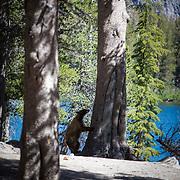 Black bear roaming the Lake Mary shoreline in Mammoth Lakes, CA.
