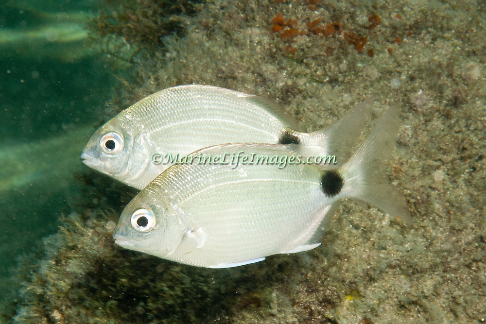 Silver Porgy inhabit shallow reefs and inshore areas of sand and rubble, often in surf, in Tropical <br /> West Atlantic; picture taken Blue Heron Bridge, Palm Beach, FL.