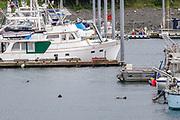 Northern sea otters float along on Kamishak Bay at the City of Homer Port & Harbor marina in Homer, Alaska. A northern sea otter floats along on Kamishak Bay at the City of Homer Port & Harbor marina in Homer, Alaska.