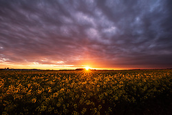 The sunset over a rapeseed field in Bingham, Nottinghamshire.