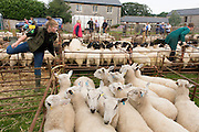 Sheep up for auction at the ancient annual Priddy Sheep Fair in Somerset, England. An official auctioneer (right) and a stockwoman climb over the fences as the sale commences in this picturesque village in the Mendip Hills. Unauthorised visitors are forbidden to enter the catle pens, avoiding the spread of epidemics like Foot and Mouth. According to tradition, Priddy Sheep Fair moved from Wells in 1348 because of the Black Death, although evidence has been found of a Fair being held at Priddy before that. There is a local legend, which says that as long as the hurdle stack shelter remains in the village, so will the Fair.