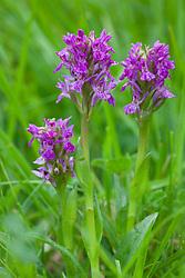 Northern Marsh orchid. Dactylorhiza purpurella