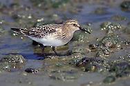 Baird's Sandpiper - Calidris bairdii - Juvenile