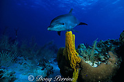 Spot, a wild, lone, sociable bottlenose dolphin, Tursiops truncatus, and tube sponge, Aplysina fistularis, Cayman Brac, Cayman Islands, British West Indies ( Caribbean Sea )