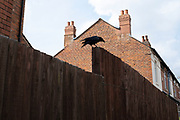 Crow standing on a fence by rooftops in the inner city area of Tyseley under Coronavirus lockdown on 8th May 2020 in Birmingham, England, United Kingdom. Coronavirus or Covid-19 is a new respiratory illness that has not previously been seen in humans. While much or Europe has been placed into lockdown, the UK government has put in place more stringent rules as part of their long term strategy, and in particular social distancing.