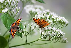 Butterflies on wild valerian. Small Tortoiseshell (Aglais urticae L.) and Comma (Polygonia c-album). Valeriana officinalis