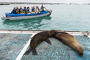 Galapagos Sealion (Zalophus wollebaeki)<br /> Dock<br /> Puerto Ayora, Santa Cruz Island<br /> GALAPAGOS ISLANDS<br /> ECUADOR.  South America