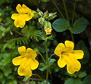 A yellow monkeyflower (Erythranthe genus) blooms on the trail to Rachel Lake in Alpine Lakes Wilderness Area, Washington, USA. (This plant was formerly classified under Mimulus genus until a 2012 DNA analysis.)