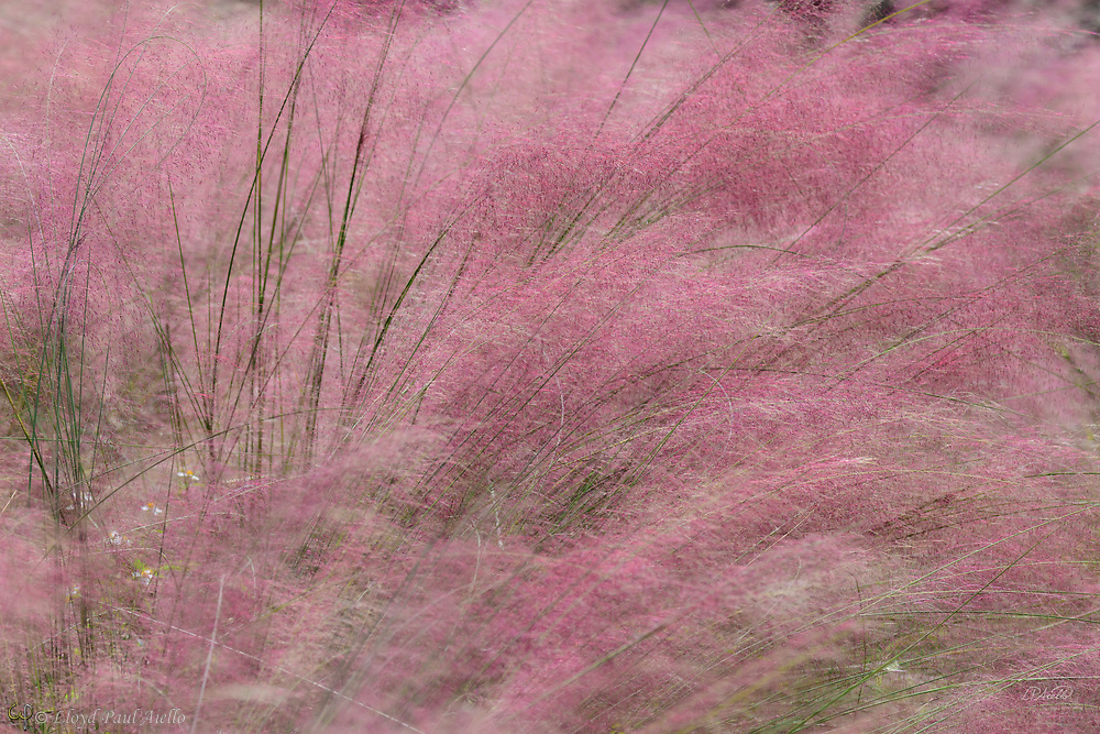 Muhlenbergia capillaris, commonly known as Pink Muhly Grass is a perennial warm-season grass that grows to be about 30–90 cm (0.98–2.95 ft) tall and 60–90 cm (2.0–3.0 ft) wide. The plant flower spikes are double layered with green leaf-like structures and purple-pink flowers that outgrow them from the bottom up in the autumn. The flowers are very feathery and add a cloudlike appearance to the top of the grass. During the summer, the leaves stay green, but during the fall they take on a more copper color. It is native to eastern North America.