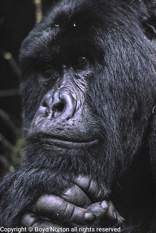 Mountain gorilla, Volcanoes National Park, Rwanda; family;