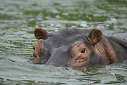 Uganda, Kazinga Channel connects Lake Edward to Lake George A hippo in the water