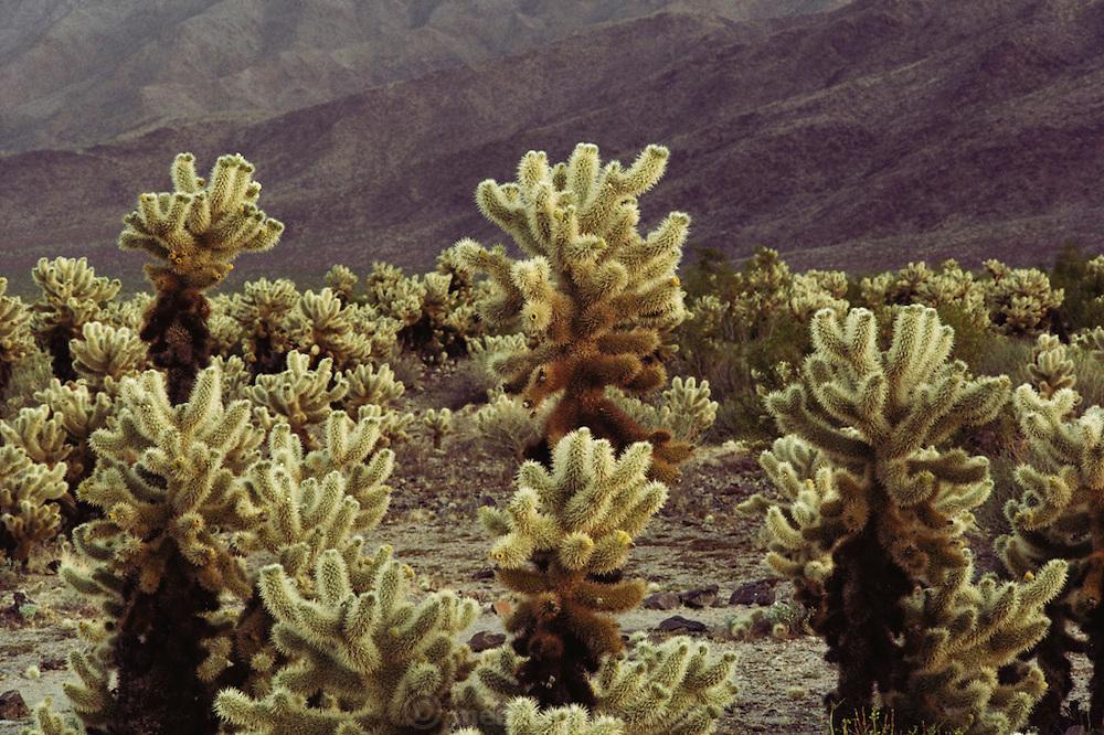Cholla cacti, Joshua Tree National Monument, California.