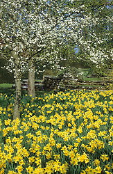 Daffodils and blossom in the orchard meadow at Great Dixter