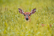 A White Tail Deer, Odocoileus virginianus, hides in the tall grass of Dinner Island Wildlife Management Area in Central Florida. Image available as a premium quality aluminum print ready to hang.