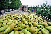 Nederland, Weurt, 16-9-2010Een fruitteler bezig met de perenoogst. Ondanks het natte weer, de vele regen van de afgelopen weken is hij niet ontevreden met de opbrenst van de fruitbomen.Foto: Flip Franssen/Hollandse Hoogte