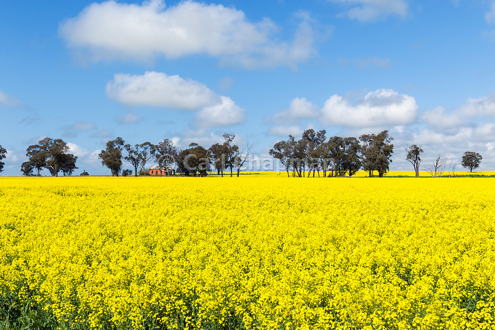 Dilapidated rundown old farm house in paddock  of canola crop near Milbrulong, New South Wales, Australia <br /> <br /> Editions:- Open Edition Print / Stock Image