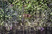 Nederland, Ubbergen 29-7-2020 In een bosje onderaan de stuwwal op de grens met de ooijpolder heeft zich een bever, gevestigd . Omgeknaagde bomen en het veranderen van de waterhuishouding via dammen van takken, klei en modder vormen hiervoor het bewijs. De bever heeft de waterloop van de afwatering van water, wat uit de stuwwal bij Nijmegen loopt, aangepast zodat het waterniveau gestegen is en bomen met de voeten onder water zijn gekomen . Hierdoor onstaat een typisch beverlandschap van moeras, dode bomen in ondergelopen gebied en watervegetatie . Foto: ANP/ Hollandse Hoogte/ Flip Franssen