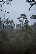Cold and foggy morning in raised bog Lielais Ķemeru tīrelis, Kemeri National Park (Ķemeru Nacionālais parks), Latvia Ⓒ Davis Ulands | davisulands.com