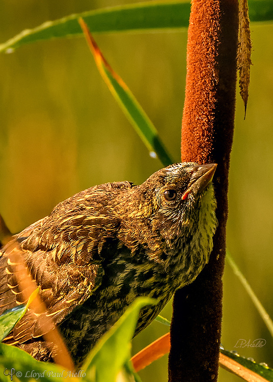 A young Red-winged Blackbird (Agelaius phoeniceus) perches amongst common cattails (Typha latifolia) at Great Meadows National Wildlife Refuge. <br /> <br /> The red-winged blackbird is found throughout most of North and much of Central America. It breeds from Alaska and Newfoundland south to Florida, the Gulf of Mexico, Mexico, and Guatemala, with isolated populations in western El Salvador, northwestern Honduras, and northwestern Costa Rica. It may winter as far north as Pennsylvania and British Columbia, but northern populations are generally migratory, moving south to Mexico and the southern United States. <br /> <br /> The red-winged blackbird has been considered the most abundant living land bird in North America, with more than a million birds per flock and the total number of breeding pairs across North and Central America exceeding 250 million in peak years. <br /> <br /> The red-winged blackbird is sexually dimorphic with the male being all black with a red shoulder and yellow wing bar, while the female is a nondescript dark brown. Red-winged blackbirds are polygynous, with territorial males defending up to 10 females. Seeds and insects make up the bulk of the red-winged blackbird's diet.<br /> <br /> Male red-wing blackbirds are 22–24 cm (8.7–9.4 in) long and weigh 64 g (2.3 oz).  Females are smaller.  They build their nests in cattails, rushes, grasses, sedge, or in alder or willow bushes. The nest is constructed entirely by the female over the course of three to six days. A clutch consists of three or four, rarely five, eggs. Eggs are oval, smooth and slightly glossy, and measure 24.8 mm × 17.55 mm (0.976 in × 0.691 in). They are incubated by the female alone, and hatch in 11 to 12 days both blind and naked.  However, they are ready to leave the nest 11 to 14 days after hatching.