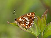 Duke of Burgundy butterfly (Hamearis lucina), Bonsai Bank, Denge Woodlands, Kent UK