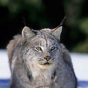 Canada Lynx, (Lynx canadensis) Adult. Rocky mountains. Montana. Winter.  Captive Animal.