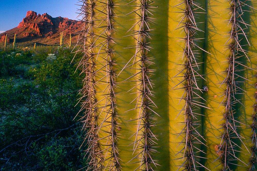Saguaro cactus and Ajo Mountains, evening light, Organ Pipe Cactus National Park, Arizona, USA