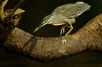 Striated Heron (Butorides striata) along Anangu creek in Yasuni National Park, Orellana Province, Ecuador