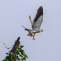 The black-winged kite (Elanus caeruleus), also known as the black-shouldered kite, is a small diurnal bird of prey in the family Accipitridae best known for its habit of hovering over open grasslands in the manner of the much smaller kestrels. Seen here with its kill, a paddy field rat.