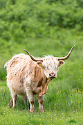 Highland Cattle,  Bos primigenius, with horns on Isle of Mull in the Inner Hebrides and Western Isles, West Coast of Scotland