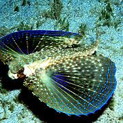 Caribbean Flyingfish