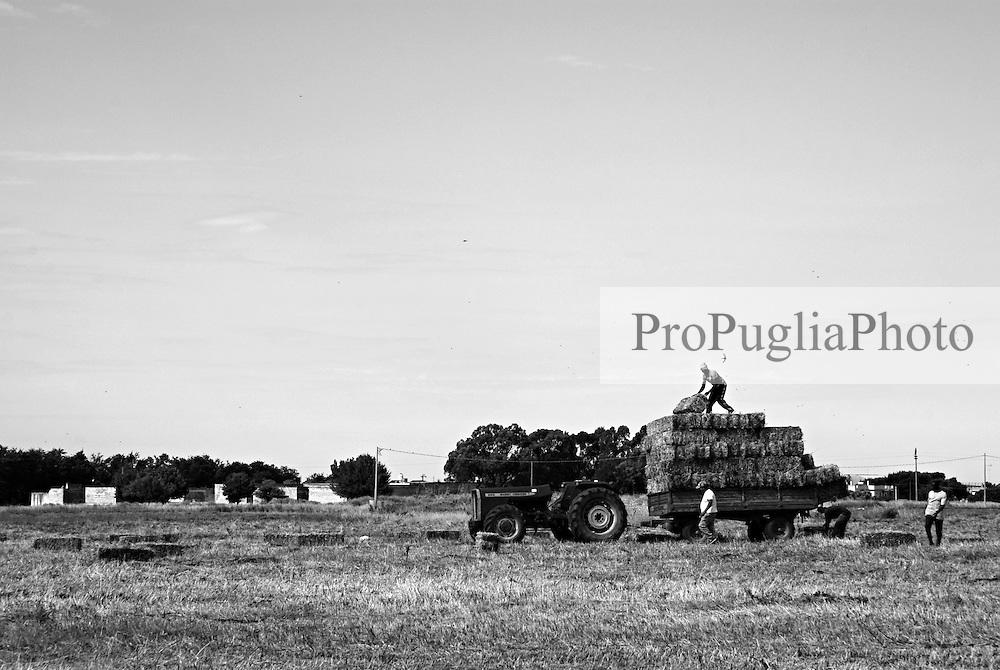 brindisi - rione paradiso. immigrati lavorano per la raccolta del grano