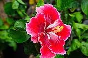 Hibicus flower, The Big Island of Hawaii