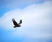 Andean Condor soaring while traveling from Estancia Lazo to Hosteria Lago Grey. Torres del Paine National Park, Chile. Image taken with a Nikon D3s camera and 70-300 mm VR lens (ISO 200, 300 mm, f/11, 1/500 sec).