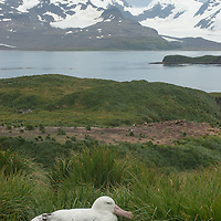 A Wandering Albatross sits on its nest on Prion Island in the Bay of Isles, South Georgia, Antarctica.