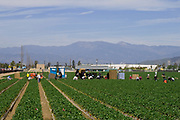 Strawberry fields being harvested. Oxnard, Ventura County, California, USA