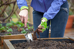 Planting out young strawberry plants into a raised bed.