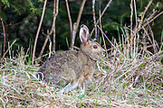 Varying Hare (Snowshoe Hare) in Summer Coat