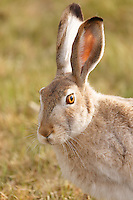 We've had a very early spring in Calgary and most of the Jackrabbits have already started to change color from their winter white to the summer brown. This one is most of the way done with only a few large patches of white still remaining.<br /> <br /> ©2016, Sean Phillips<br /> http://www.RiverwoodPhotography.com