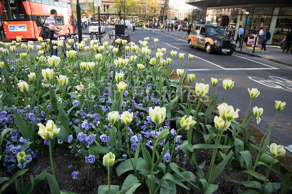 Spring flowers planted in flower beds in the City of London, England, United Kingdom.