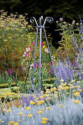 Sweet peas - Lathyrus odoratus -  growing up metal obelisk in the herb garden at Ballymaloe Cookery school