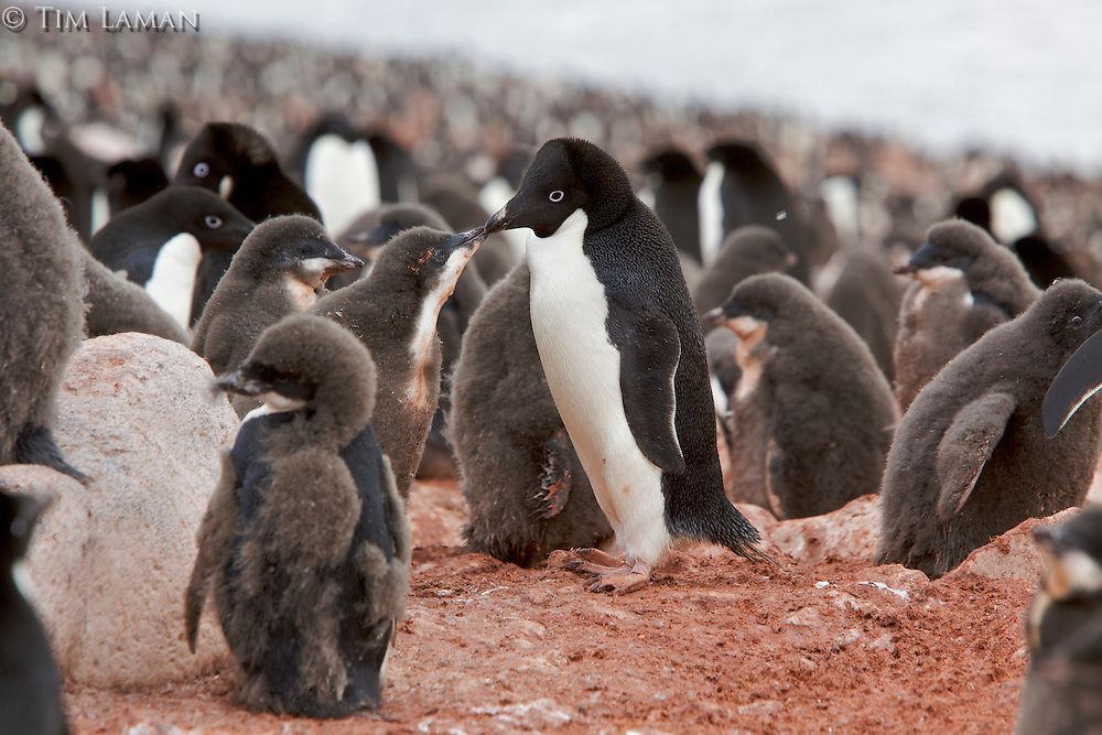 A Adelie Penguin (Pygoscelis adeliae) chick looking for food from an adult, Paulet Island, Weddell Sea.