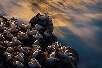 23.07.2008.Northern gannet (Morus bassanus) colony.Seabird cliff.Langanes peninsula, Iceland