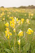 Field of cowslip flowers, Dorset, UK.