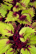 Close-up abstract of coleus leaves showing the dramatic splash of dark red colour against the green. Also know as solenostemon flame nettle and painted nettle. Garden Norfolk